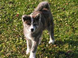 Itsuko, chien Akita Inu