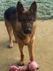 Iucky, chien Berger allemand