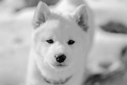 Iuki, chien Shiba Inu
