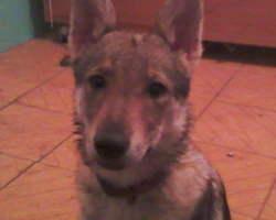Iuki, chien Chien-loup tchèque