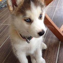 Iuma, chien Husky sibérien