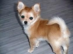 Iumy, chien Chihuahua