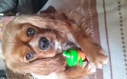Iury, chien Cavalier King Charles Spaniel