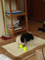 Iva, chien Border Collie