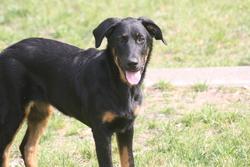 Iva, chien Beauceron