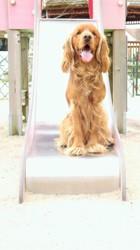 Ivan, chien Cocker anglais