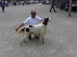 Ivan'S, chien Setter irlandais rouge et blanc