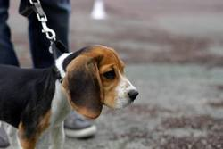Ivan, chien Beagle