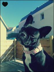 Ivana, chien Bouledogue français