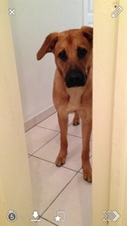 Ivanna, chien Berger belge