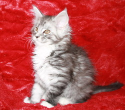 Ivanna, chat Maine Coon