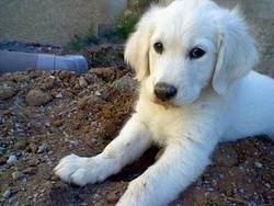 Ivoir, chien Golden Retriever