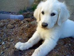 Ivoir, chien Golden Retriever