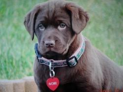 Ivore, chien Labrador Retriever