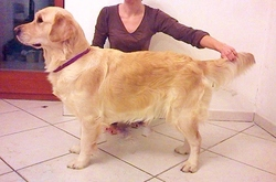 Ivory, chien Golden Retriever