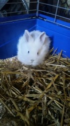 Ivory, rongeur Lapin