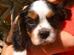 Ivory, chien Cavalier King Charles Spaniel