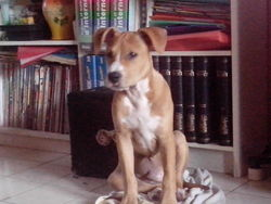 Ivory, chien American Staffordshire Terrier