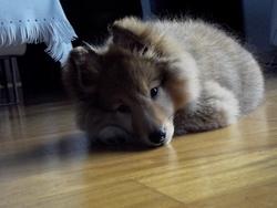 Ivory, chien Berger des Shetland