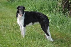 Ivory Queen, chien Barzoï