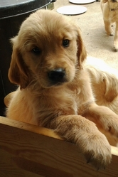 Ivy, chien Golden Retriever