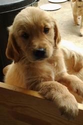 Ivy, chien Golden Retriever