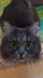 Ivy, chat Sibérien