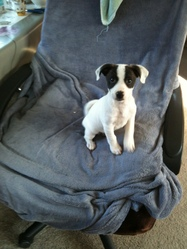 Ivy, chien Jack Russell Terrier