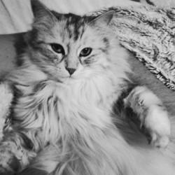 Ivy, chat Norvégien