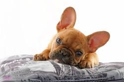 Ivy, chien Bouledogue français