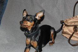 Ivy, chien Pinscher