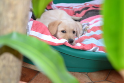 Ivy, chien Labrador Retriever