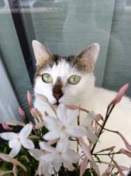 Ivy, chat Européen