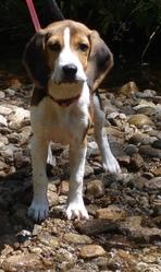 Ivy, chien Beagle