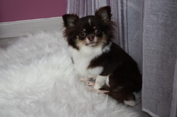Ivy Brown, chien Chihuahua