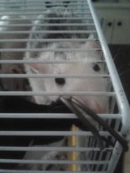 Ivy Poison, rongeur Rat