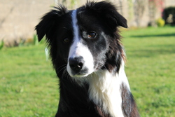 Iwa, chien Border Collie