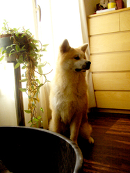 Iwai, chien Akita Inu