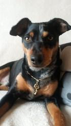 Iwan, chien Pinscher