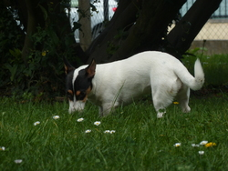 Iwen, chien Jack Russell Terrier