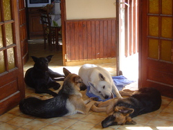 Iwen, chien Berger allemand