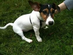 Iwenn, chien Jack Russell Terrier