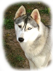 Iwik, chien Husky sibérien