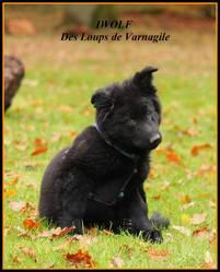 Iwolf, chien Berger allemand