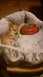 Iwook, chien Chihuahua