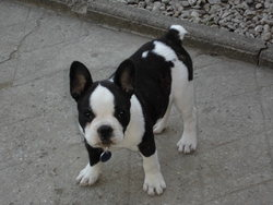 Ixane, chien Bouledogue français
