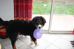 Ixelle, chien Bouvier bernois