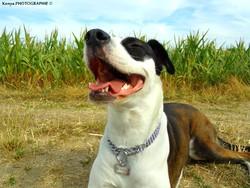 Ixsesse, chien Boxer