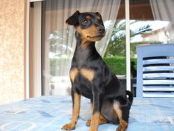 Ixia, chien Pinscher