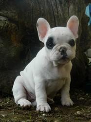 Ixia, chien Bouledogue français